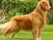 Perros Golden Extraordinarios Amigos Familiares