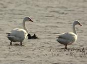Coscoroba (Coscoroba Swan) coscoroba