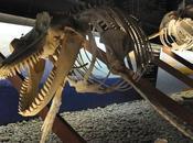 Museo Ballenas Husavik, Islandia