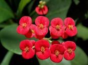 Corona espinas, Euphorbia mili