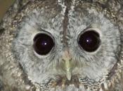 ojos noche:carabo