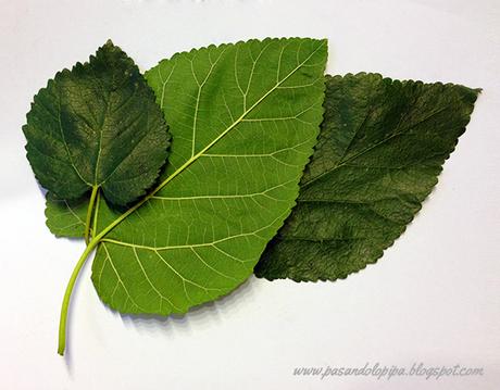 Image gallery hojas de arboles for Arboles de hoja perenne para jardin