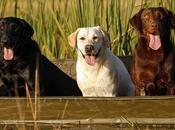 Todo debes saber antes adquirir perro Labrador