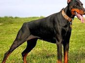 perros Doberman características comunes