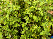 Recomendaciones INTA. Cultivo Oregano Tomillo