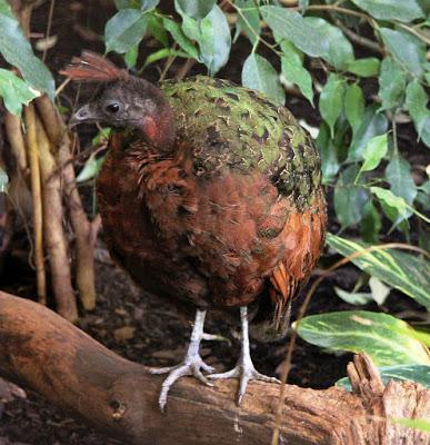 El pavo del Congo, un hallazgo de la zoología moderna