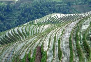 Guilin - campos de arroz