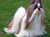 """perros Shih tzu"" razas proveniente China"