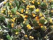 'Las Tunas Opuntia Picus-indica'