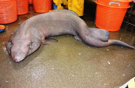 ' Tiburón Sofá' hace rara aparición en Escocia