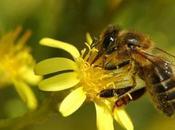disminución abejas mexico decline bees mexico.