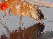 ¿Cómo forma mosca?: Genes engrailed apterous