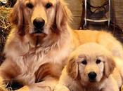 particularidades increíble raza perros Golden Retriever