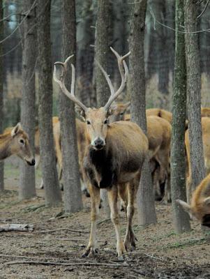 Dos ciervos asiáticos y una extinción