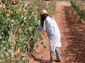 Enoturismo Winebus: Vendimiando primera Bodegas PradoRey visita Segovia
