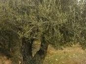 Conoce propiedades hojas olivo.