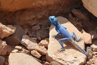 El lagarto azul de Petra
