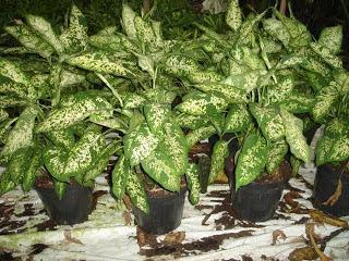 Plantas ornamentales t xicas paperblog for Algunas plantas ornamentales