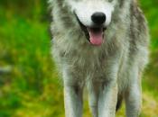 Nueva especie evoluciona ante nuestros ojos: Exitosa mezcla lobos, coyotes perros