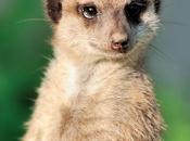 Eterno odio vieja suricata