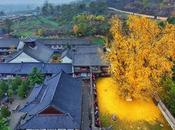 ÁRBOL FAVORITO: antiguo árbol Ginkgo chino despide océano hojas doradas
