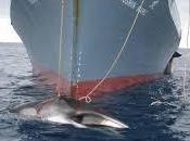 Japón volverá cazar ballenas Antártida 2016