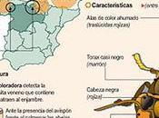 avispa asiática amenaza Bierzo después aparecer norte Burgos.