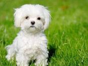 aspectos importantes raza perros Maltés