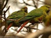 Cachaña (Austral Parakeet) Enicognathus ferrugineus