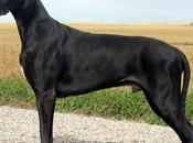 Perros Gran danés; Conoce raza grande mundo