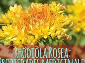 Propiedades medicinales Rhodiola.