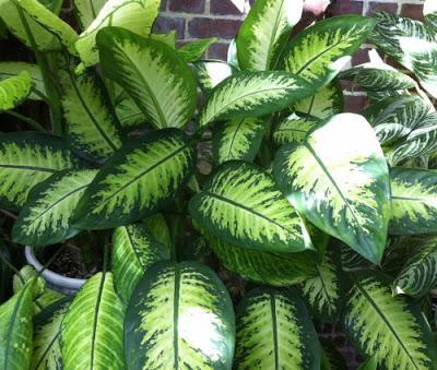 Flores dieffenbachia paperblog for Planta ornamental venenosa dieffenbachia