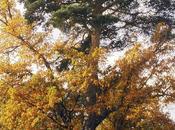 pino-roble canicosa sierra (burgos) candidato árbol europeo 2016. votación está abierta durante este febrero