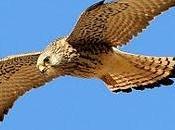 Cernícalo primilla Lesser Kestrel (Falco naumanni)