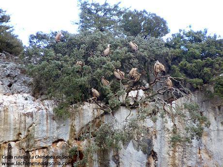buitres en las cuevas de la hoz de orillares