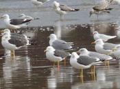 Gaviotas sombrías migración