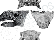 PALEOFICHA: Ankylosaurus magniventris