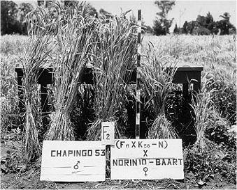 339px-Green_revolution_wheat_f2 by CIMMYT