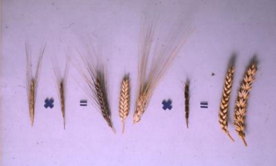 La cruza de tres especies distintas produjo una nueva, el trigo (créditos Max Planck Institute).
