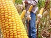 Bacteria estimula desarrollo maíz sorgo