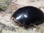 pelea siglos cucaracha
