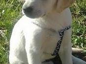 LUCERO, cachorro LABRADOR BLANCO, como Scottex, pero este abandonado!