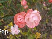 Rosas Koster: toque color pleno invierno