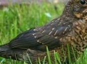estrés aves
