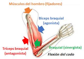 Sistema muscular II: el músculo como órgano
