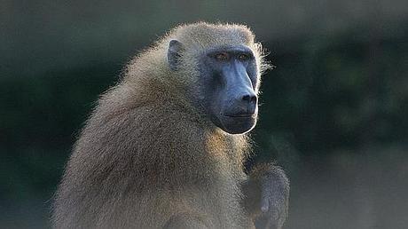 El mono con corazón de cerdo