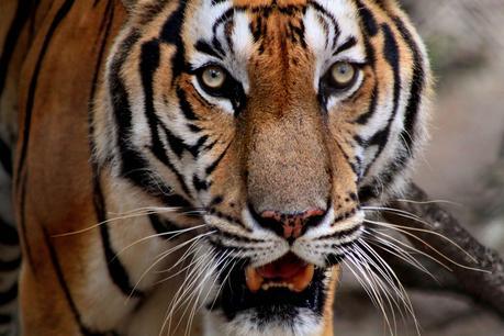 Los Tigres se han extinguido en Camboya