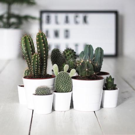 Los cactus me encantan y son mis plantas preferidas. No necesitan muchos mimos y crecen sin problemas.:
