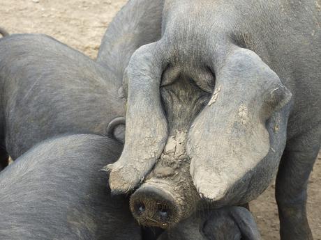 La guerra del cerdo y la patata