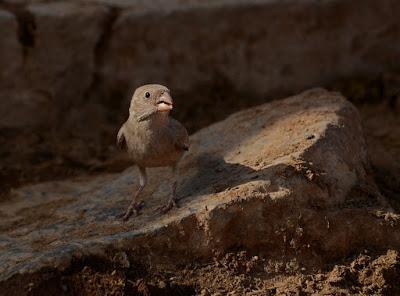 Aves esteparias en las islas Canarias Occidentales